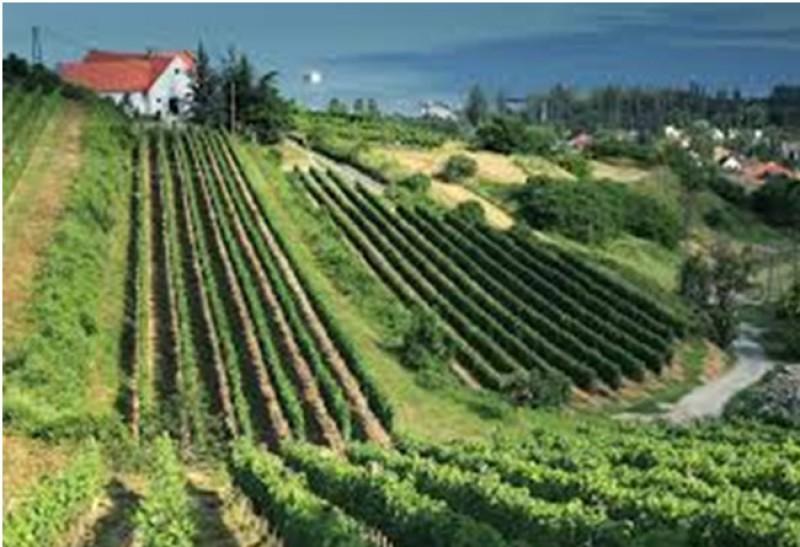 Környék - Badacsonyi teraszos szőlők