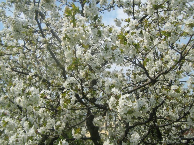 tavaszi fák